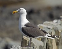 Great Black-​Backed Gull​
