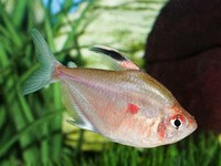 Bleeding ​Heart Tetra​