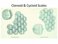Cycloid and Ctenoid (Most Bony Fishes)