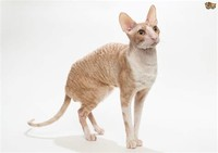 Cornish Rex​