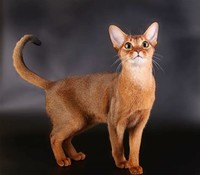 Abyssinian ​cat​