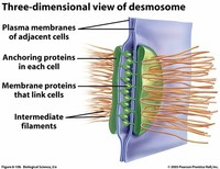 Adherens Junctions, Desmosomes and Hemidesmosomes (Anchoring Junctions)