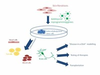 Induced Pluripotent Stem Cells (IPSCs)