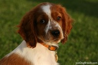 Welsh ​Springer Spaniel​