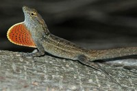 Brown Anole​