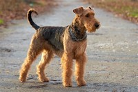 Airedale ​Terrier​