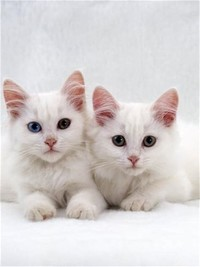 Turkish ​Angora​
