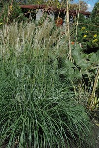 Chinese Silver ​Grass​