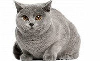 British ​Shorthair​