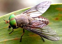 Horse-fly​
