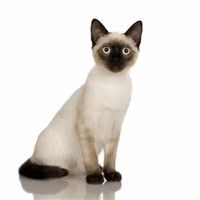 Different Types of Siamese Cats