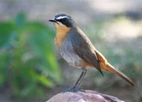 Robins: The Muscicapid Chats