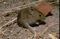 Thomas's ​Pygmy Mouse​