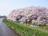 See the Cherry Blossoms in Saitama Omiya Park