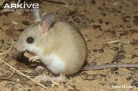 Fawn-Colored ​Mouse​