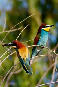 Bee-Eater​