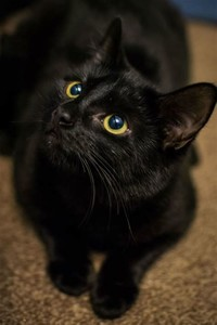 Bombay cat​