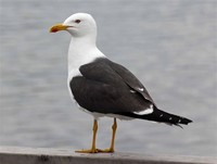 Lesser Black-​Backed Gull​