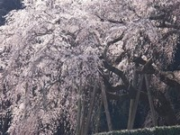 Okuyamada Weeping Cherry Tree
