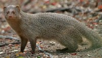 Small Indian ​Mongoose​