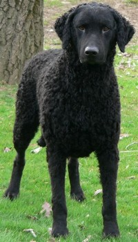 Curly-Coated ​Retriever​