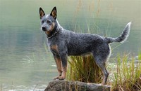 Australian ​Cattle Dog​
