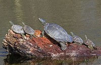 Map Turtle (Graptemys Geographica)