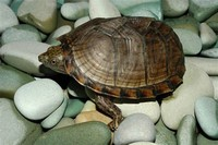 Razor-Backed Musk Turtle