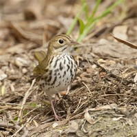 Ovenbirds and Waterthrushes