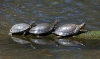 Pond Turtles​