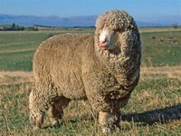 Polwarth Sheep
