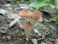 Pholiotina Smithii