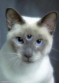 Siamese cat​