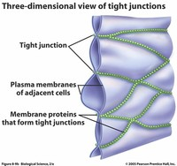 Tight or Occluding Junctions