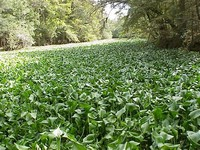 Common ​Water Hyacinth​