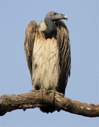 Slender-Billed ​Vulture​