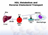 HDL is Involved in Reverse Cholesterol Transport