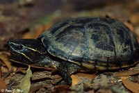 mud Turtles and Musk Turtles (Family Kinosternidae)