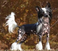 #6 – Chinese Crested Dog