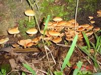 Gymnopilus Cyanopalmicola