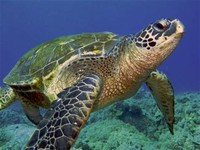 sea Turtles (Families Dermochelyidae and Cheloniidae)