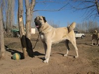 Kangal – Dog With the Strongest Bite