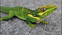 Knight Anole​
