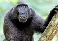Celebes ​Crested Macaque​