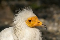 Egyptian ​Vulture​