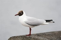 Black-Headed ​Gull​