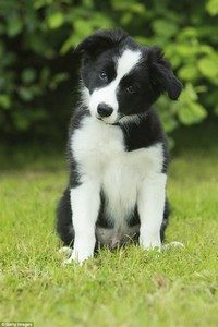 Border Collie​