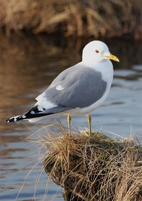 Common Gull​