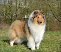 Rough Collie​