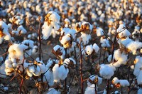Cotton Comes From Cotton Plant